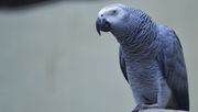 Vogelarten sterben viel schneller aus als gedacht