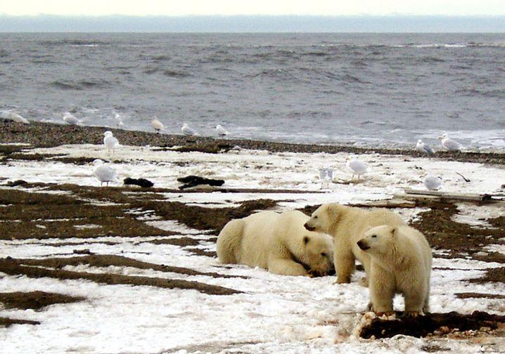 Vom Öl bedroht: Eisbären im Arctic National Wildlife Refuge