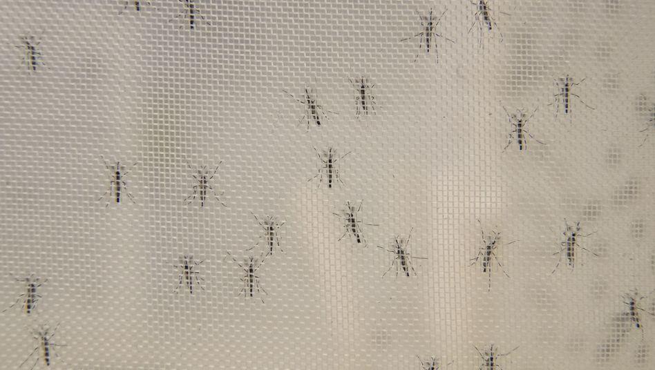 Gelbfiebermücken bei Versuchen in der Rockefeller University in New York