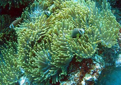Eine Hand voll Nemos im Korallenriff: Die Malediven sind das Traumziel für Taucher aus aller Welt