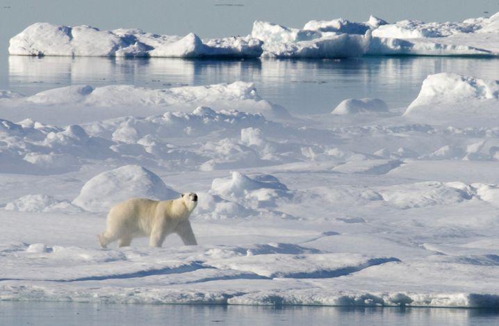 Eisbär an der Baffin Bay in Kanada (2008)