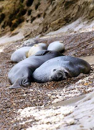 Zuckend und schniefend: Von den trägen Seeelefanten sollte Abstand gehalten werden