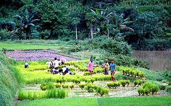 Der Norden Balis wurde zuerst von den Holländern kolonialisiert: Bauern auf Reisfeldern