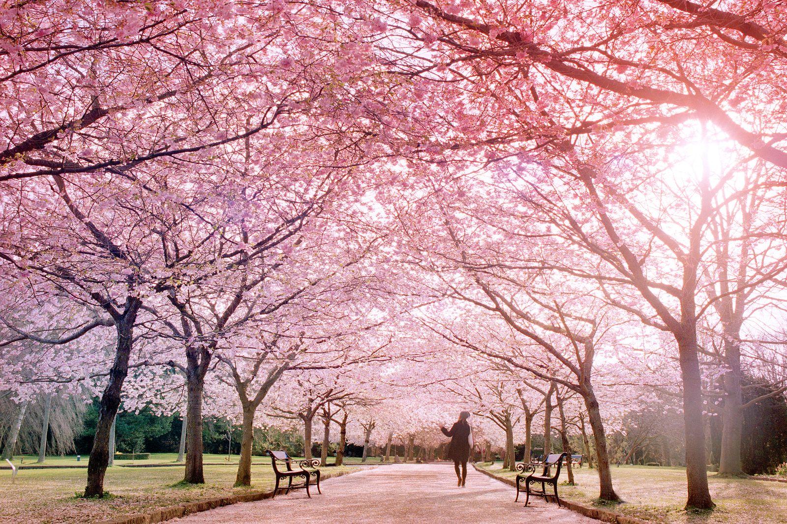 Cherry tree allée