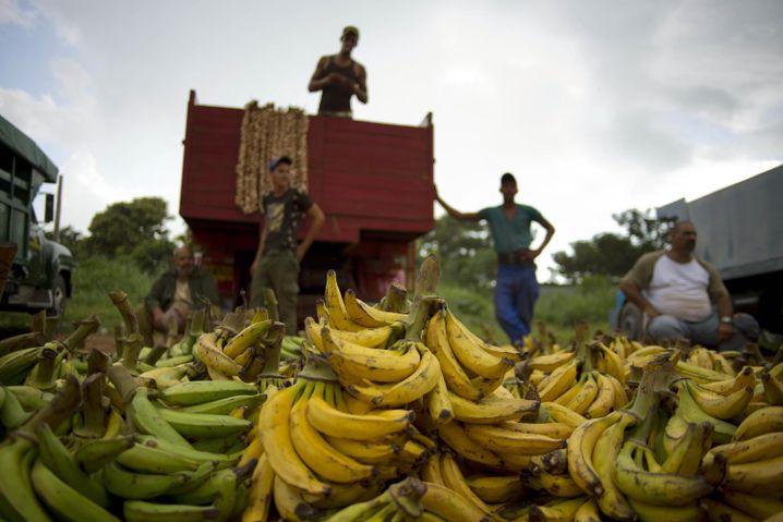 Bananenbauern in Kuba
