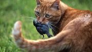 Dürfen Katzen bald nicht mehr frei herumlaufen?