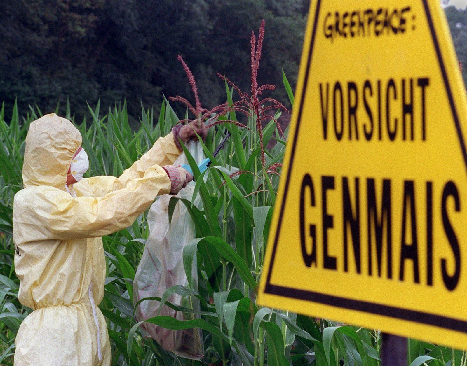Greenpeace verhindert Pollenflug von Gen-Mais