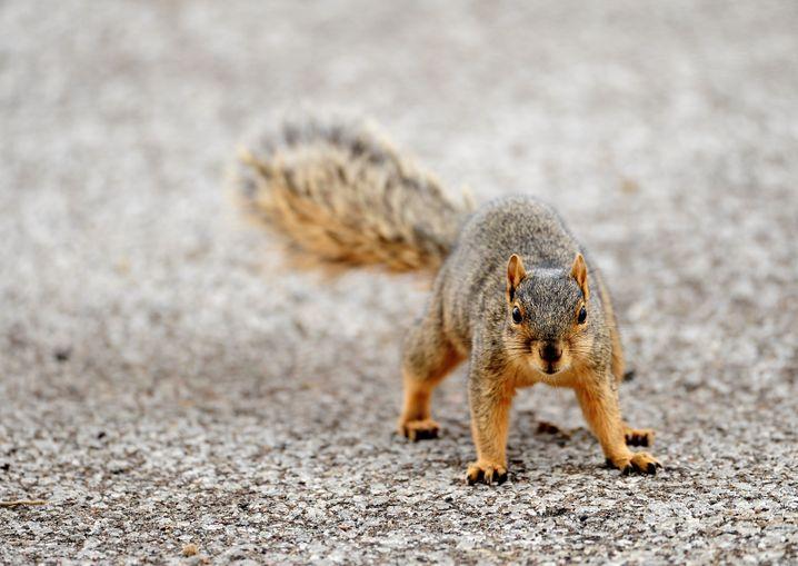 Eigentlich nicht in Westafrika beheimatet: Das Eichhörnchen