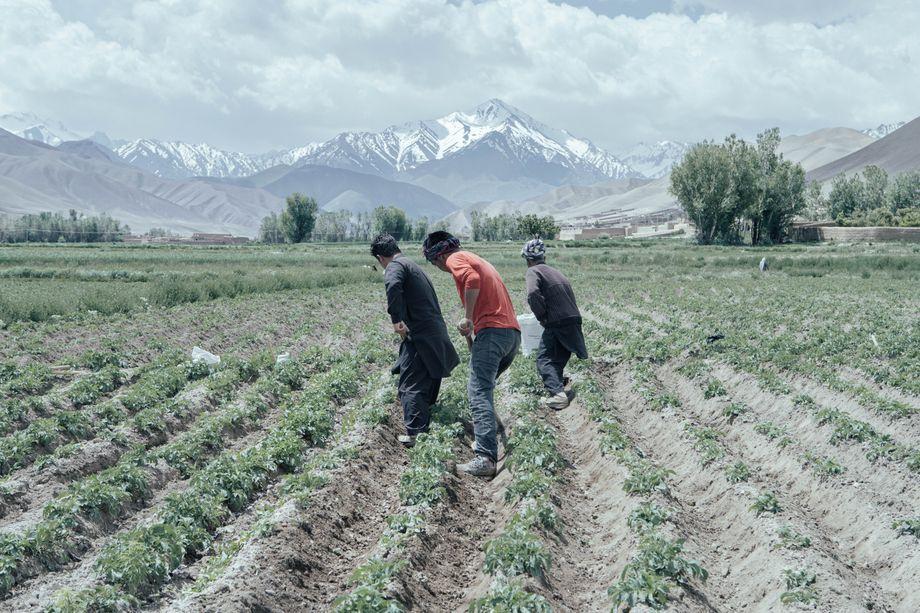 Farmer bearbeiten ein Kartoffelfeld in Bamiyan, im Hintergrund die schneebedeckten Berge des Hindukusch