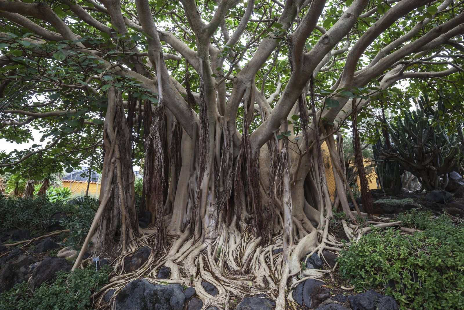 Wurzeln Sokotra Maulbeerbaum Ficus socotrana botanischer Garten Jardin Botanico Canario Viera y