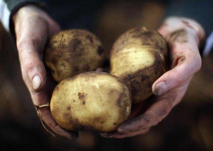 Kartoffelernte (Archivbild): Der Pilz Phytophthora infestans kann ganze Ernten vernichten
