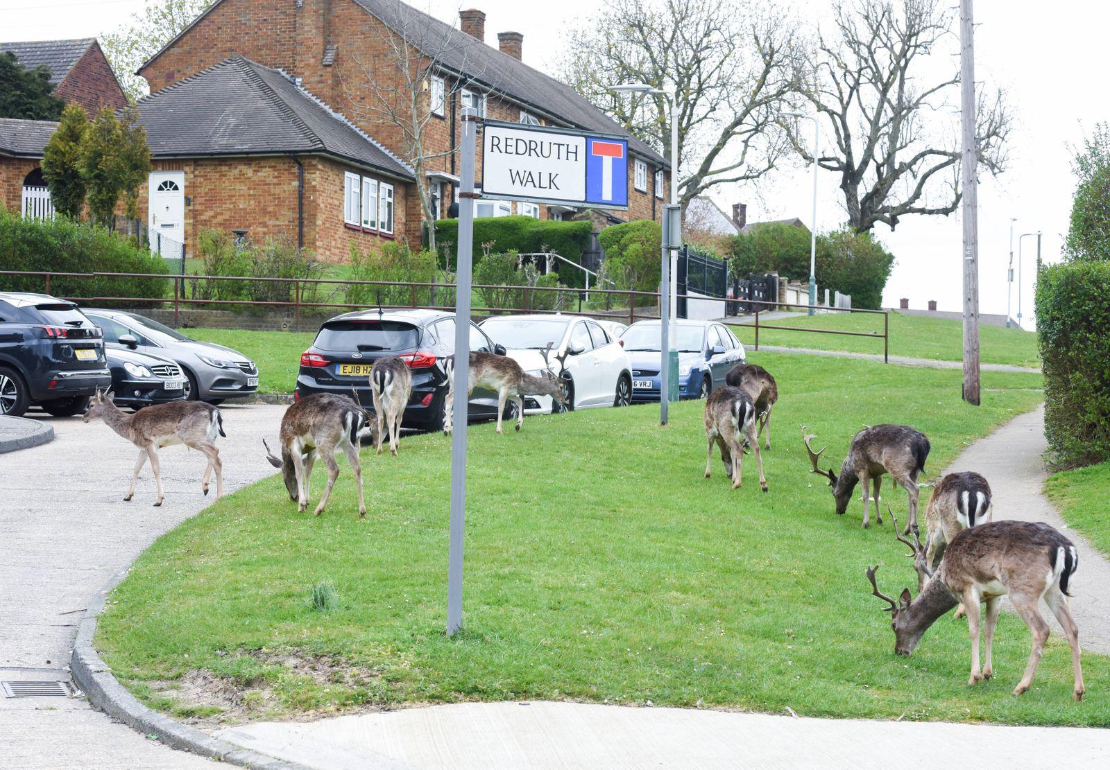 News Themen der Woche KW13 News Bilder des Tages . 03/04/2020. London, United Kingdom. Coronavirus crisis. Deer from the