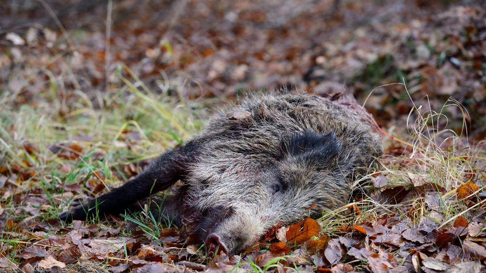 Erlegtes Wildschwein nach einer Treibjagd: Das Virus kann an Fahrzeugen, Kleidung oder Schuhen haften, sogar an Jagdtrophäen aus betroffenen Gebieten