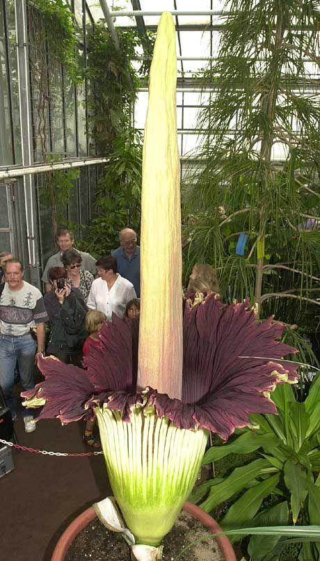 Bonner Rekordblüte: 2,5 Meter hoch und stinkend