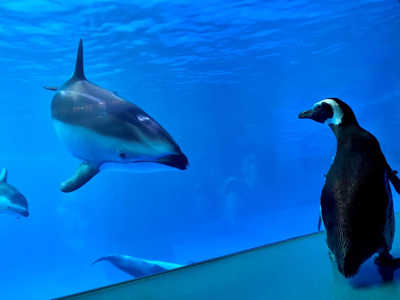 Wellington, a 32-year-old rockhopper penguin, meets other animals as exploring the aquarium's Amazon Rising exhibit at Shedd Aquarium in Chicago