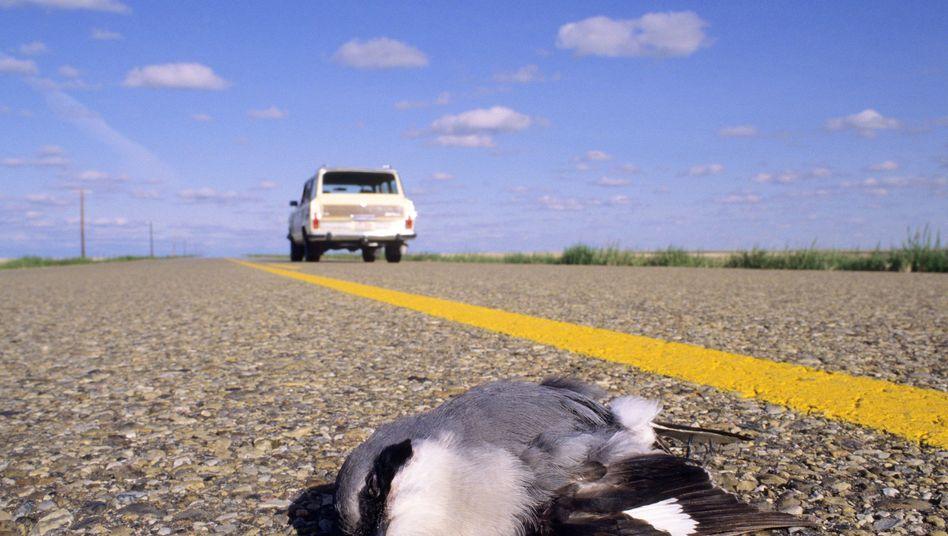 Toter Vogel am Straßenrand: Ist das Auto zu schnell, wird die Zeit zur Flucht knapp