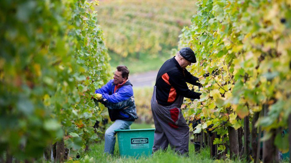 Erntehelfer auf Weinberg: Zugeständnis für Arbeitgeber bei Saisonkräften