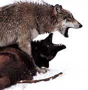 Die Wolfsjagd soll Estland Touristen bescheren