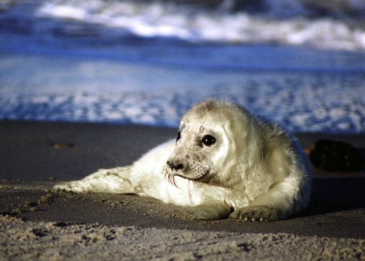 A grey seal pup on the beach of the German North Sea island of Helgoland.