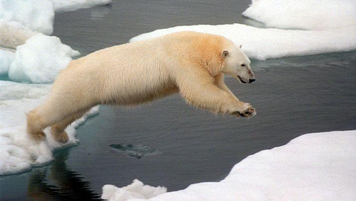 Bedrohte Giganten: Eisbären in der Arktis