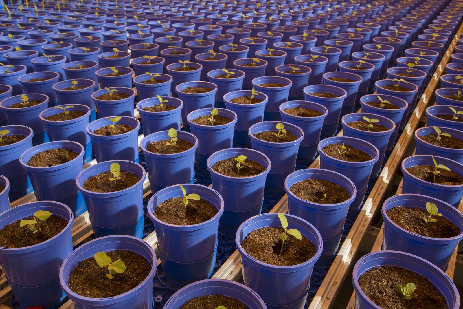 EINMALIGE VERWENDUNG SPIEGEL Plus SPIEGEL 13/2018 S. 78 Monsanto / Sojapflanzen STARTBILD