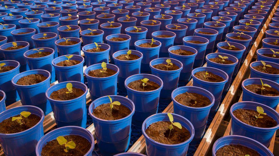 Sojapflanzen in Monsanto-Forschungslabor: Die Landwirtschaft wird zum Softwarebusiness