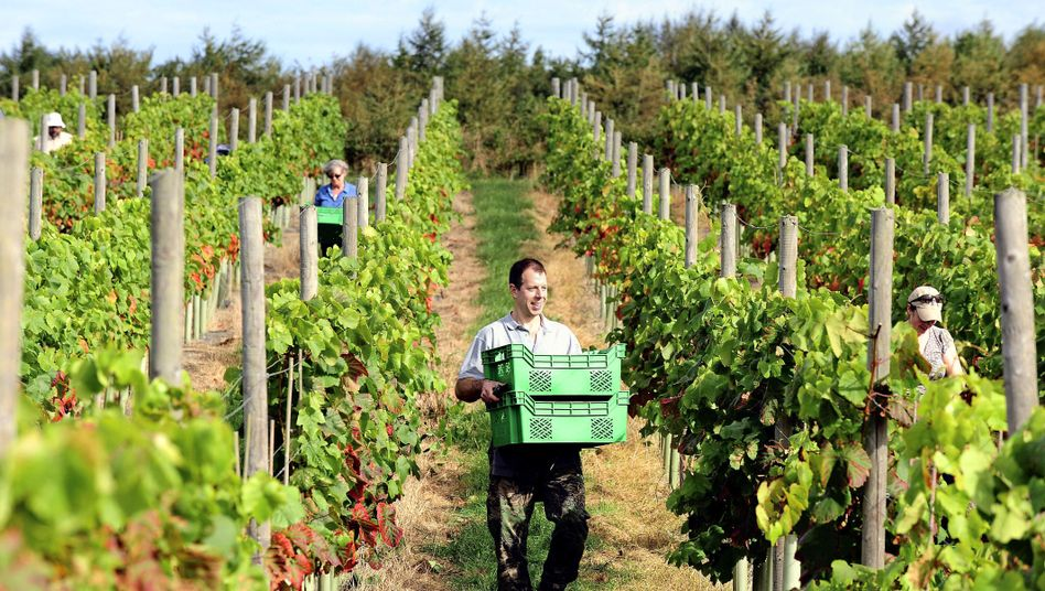 Bumper crops are expected for English Vineyards -- despite the cloudy climes.