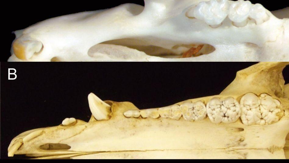 Säugetierzähne: Maus (A), Wildschwein (B), Delfin (C) - zum Vergleich Bild anklicken