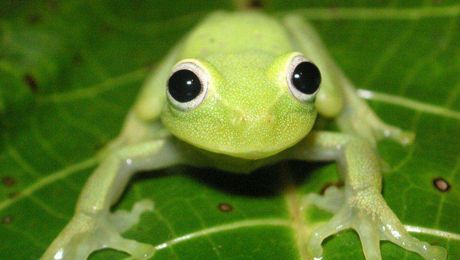 Frosch in Bolivien: Amphibien sind vom Klimawandel besonders bedroht
