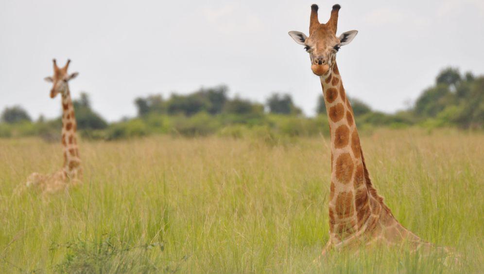 Giraffenstudie: Langer Hals, vier Arten