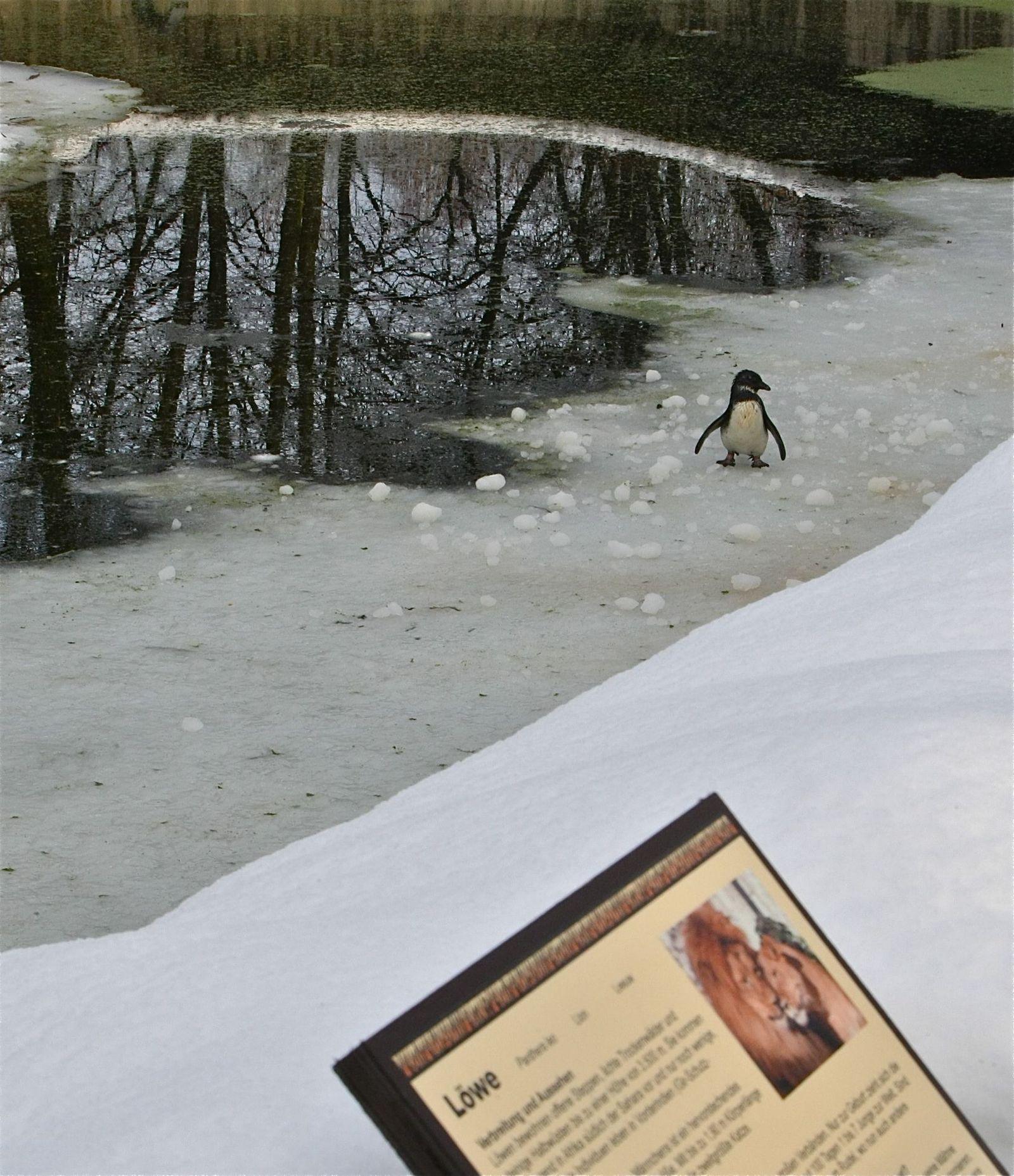 EINMALIGE VERWENDUNG Pinguin im Löwengraben