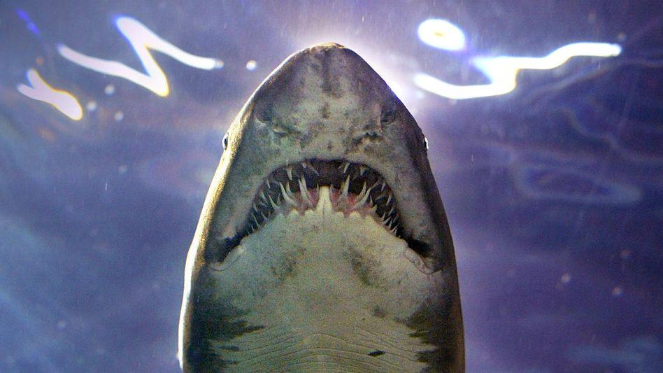 Sandtigerhai (Archivbild)