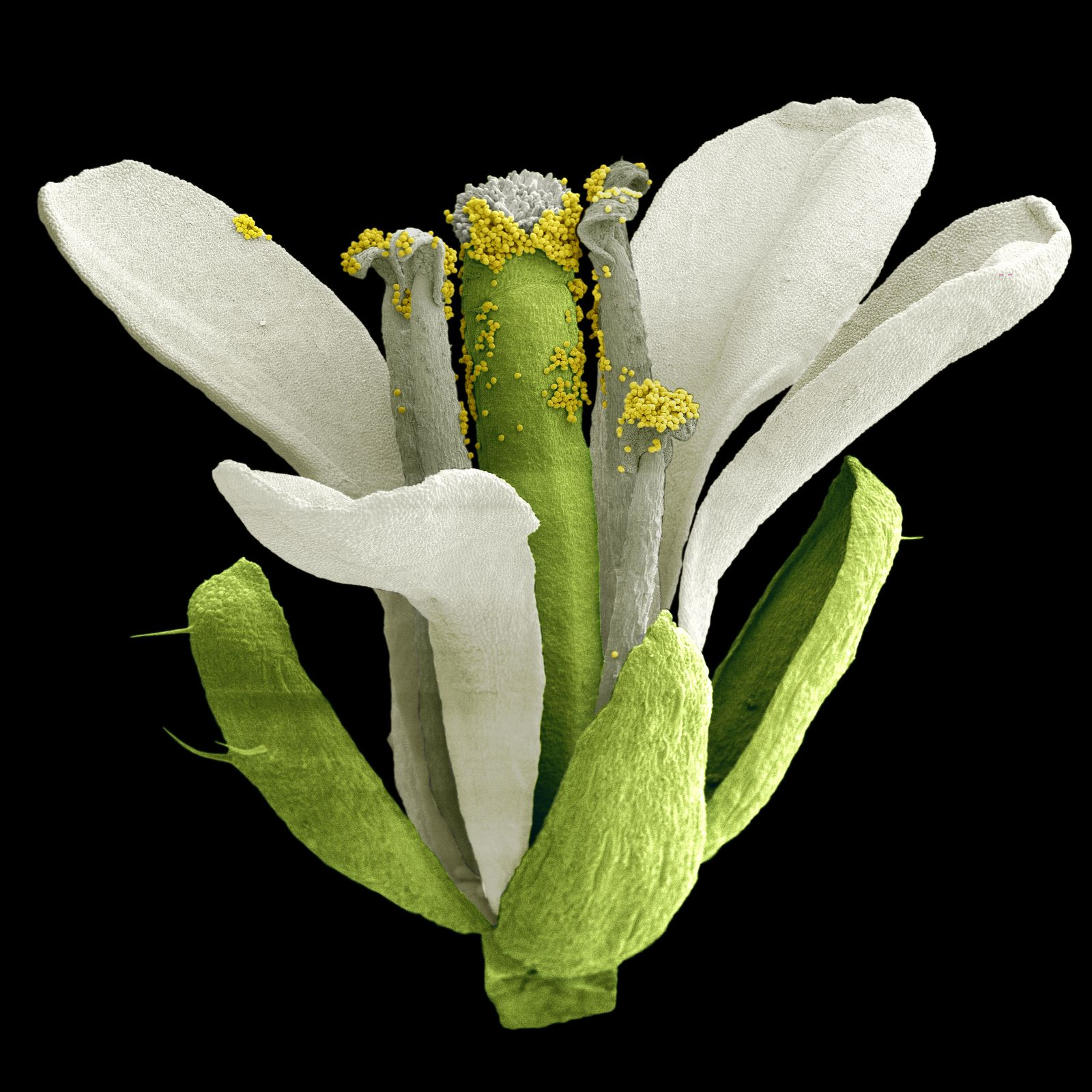 Arabidopsis Thaliana / Ackerschmalwand