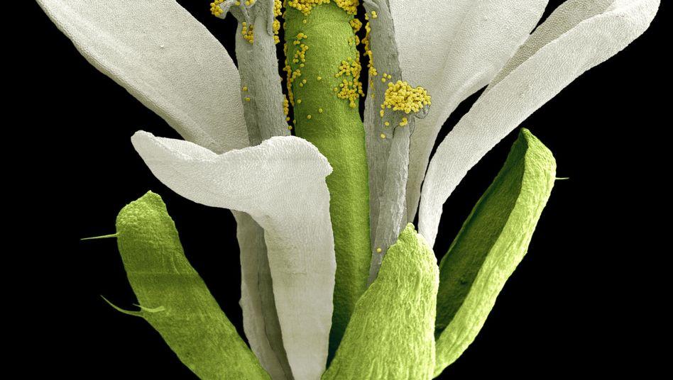 Blüte der Ackerschmalwand: Pflanze reagiert auf Temperaturschwankungen