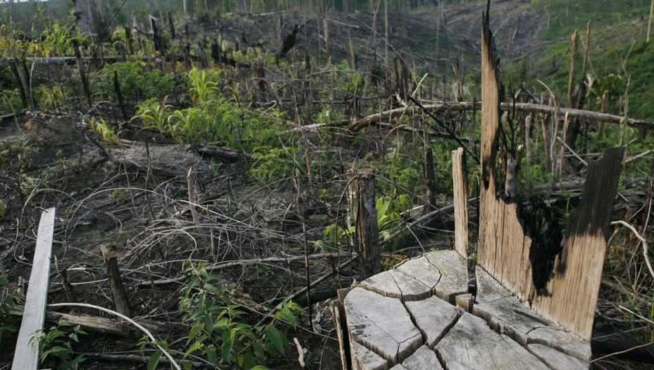 Entwaldung in Indonesien: Palmölplantagen für Biosprit-Produktion verdrängen Regenwald