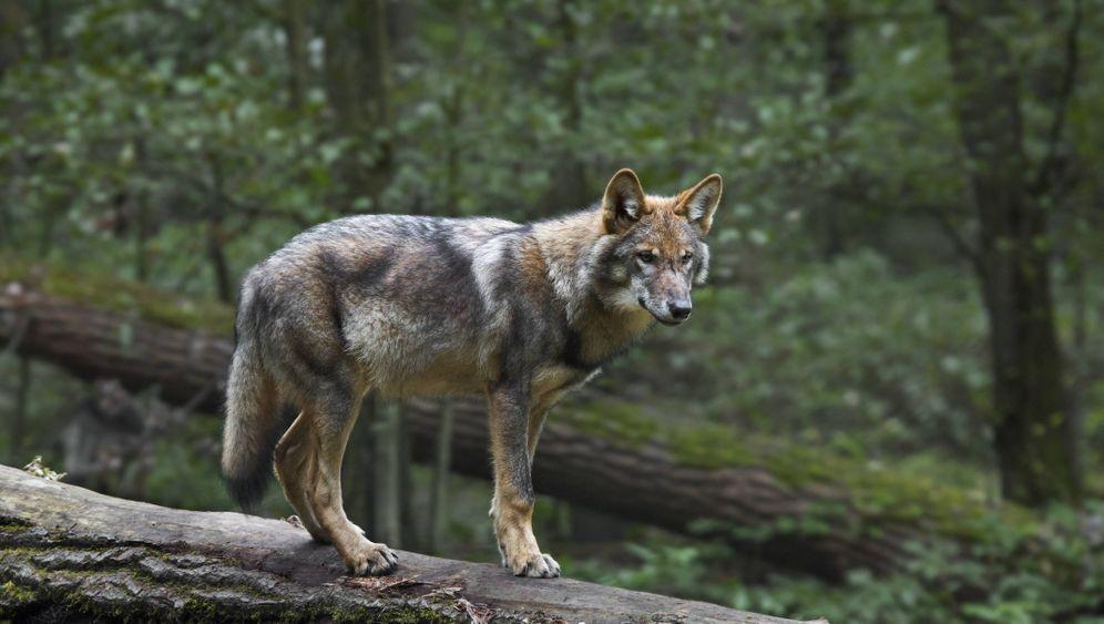 Wölfe in Deutschland: Jäger und Gejagte