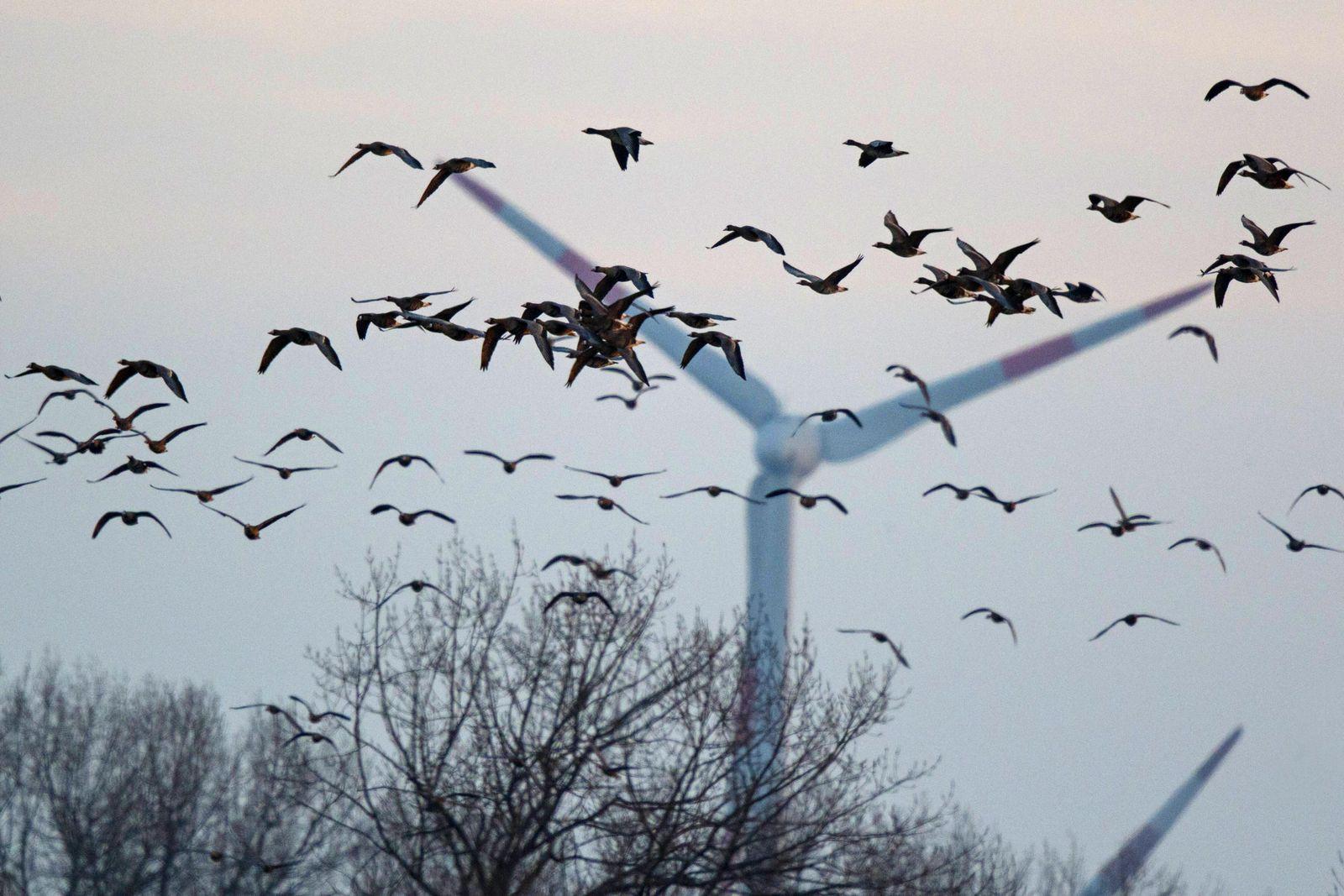 Blässgans Anser albifrons Gruppe im Flug Nordrhein Westfalen Deutschland *** Pale Goose Anser al