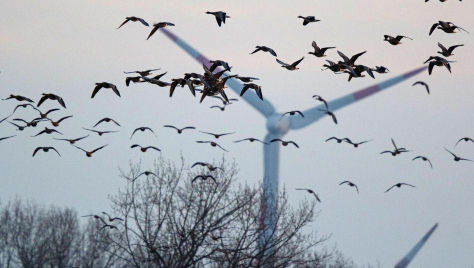 Fliegende Blässgänse (Archivbild): Erster Nachweis der Vogelgrippe in dieser Saison