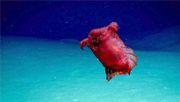 Forscher filmen ungewöhnliche Seegurke