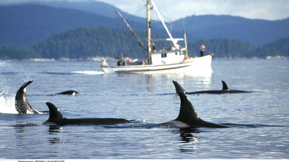 """Orcas auf der Lauer: """"Die lungerten einfach um mich herum"""""""