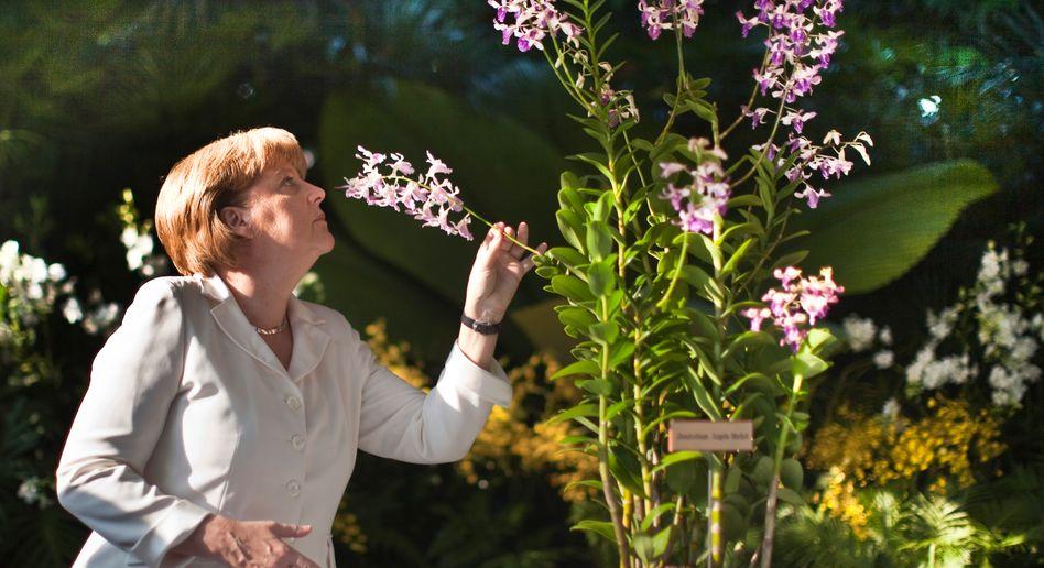 """Kanzlerin Merkel, Orchidee """"Dendrobium Angela Merkel"""": Dekorativ und anpassungsfähig"""