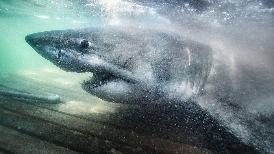 Weißhaiweibchen Nukumi:In erschreckender Nähe zum Ufer