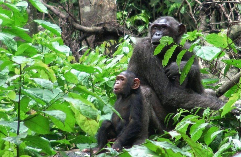 Prima Primaten: zwei Schimpansen im Blick der Forschung.
