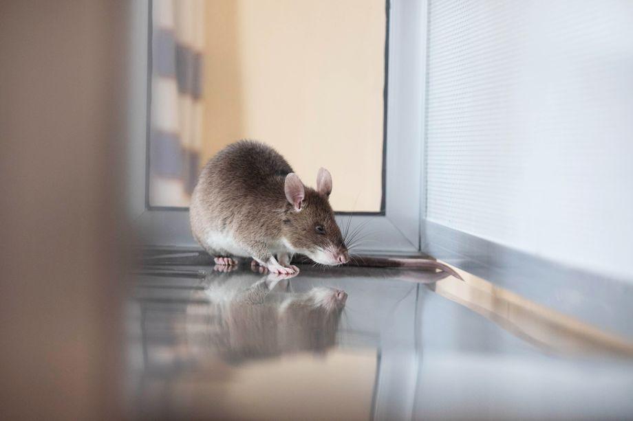 Die Ratten können dank ihres feinen Geruchssinns Tuberkulose-Erreger riechen - und sie brauchen dafür kaum Zeit: Eine Ratte checkt 100 Proben in 20 Minuten