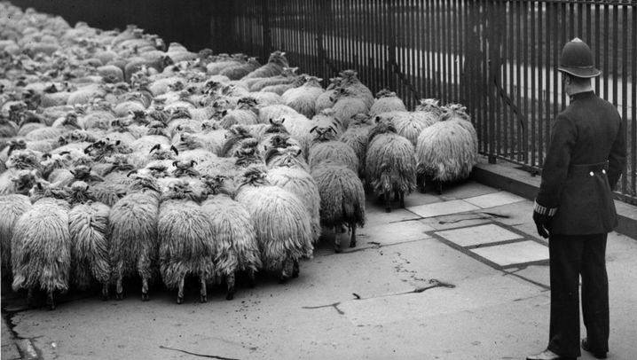 Britische Fotos: Schafe in London - wer mäht denn da?