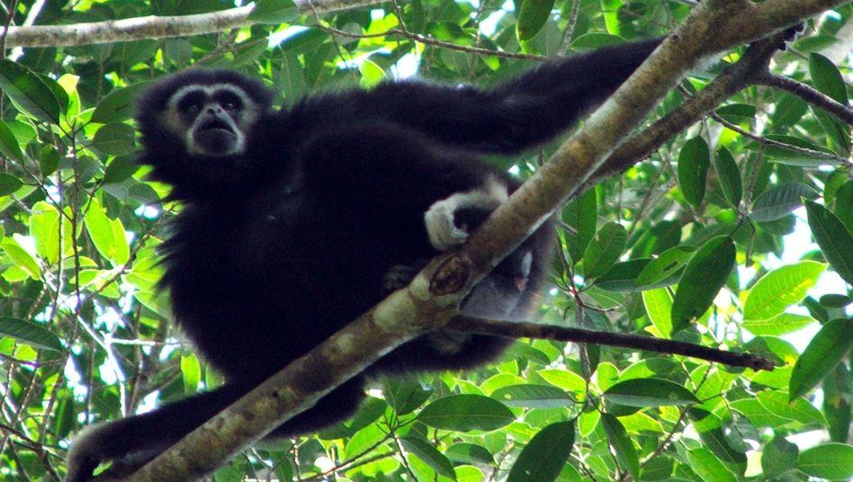 Gibbon im thailändischen Khao-Yai-Nationalpark: Gesänge regional eingefärbt