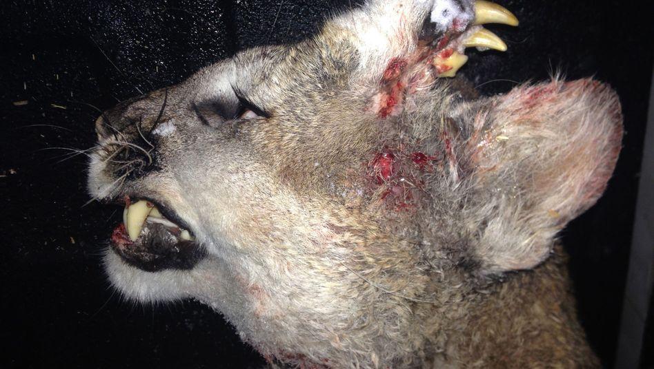 Deformierter Berglöwe: Ein Jäger erlegte das Tier Ende Dezember 2015
