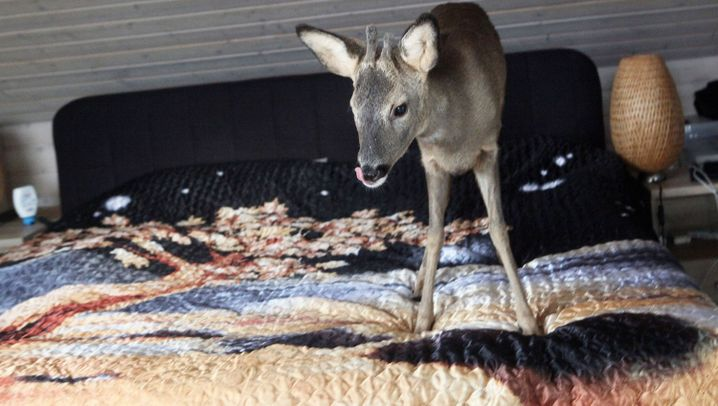 Rehkitz in Hessen: Wohin mit Bambi?