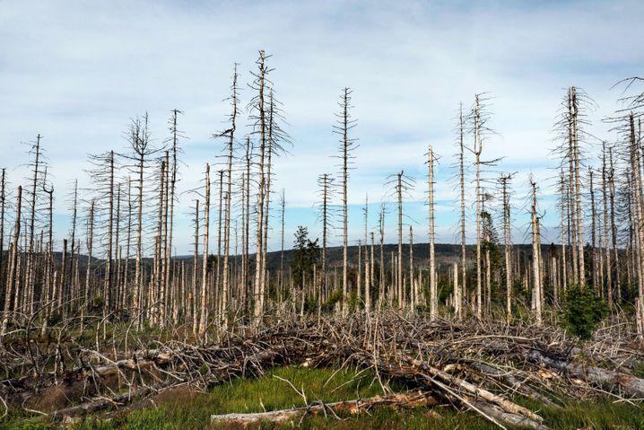 Abgestorbene Bäume im niedersächsischen Teil des Nationalparks Harz