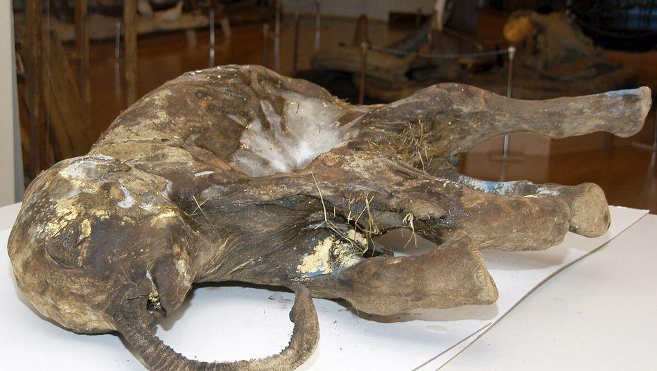 Konserviertes Mammut-Junges: Forscher träumen von geklonten Urzeittieren
